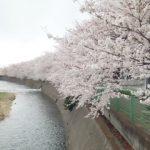 いよいよ桜の季節が?